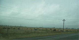 Cows2 40.5k