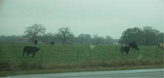 Cows1 33.6k